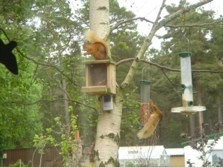 Red Squirrels on Derraids Nut Box