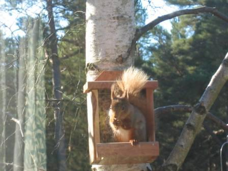 Red Squirrel Close up